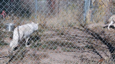 gaiola : wolves in a zoo Stock Footage