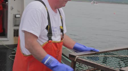 рыболовство : fishermen catching lobster on a boat in nova scotia canada Стоковые видеозаписи