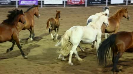 cavalos : Horses running around rodeo ring