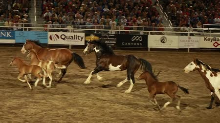 cavalos : horses running around an arena in slow motion at a rodeo Vídeos