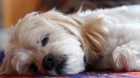 A little cockapoo dog resting on his colorful rug Stock Footage