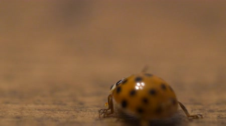 A macro shot of a lady bug flip over from its back