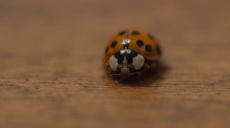 A macro shot of lady bug on wood