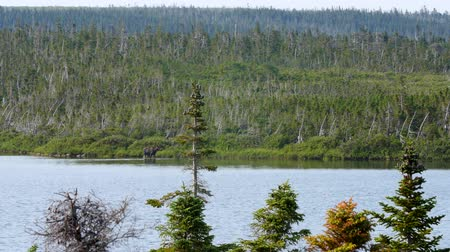 komar : A moose in the distance walking in lake
