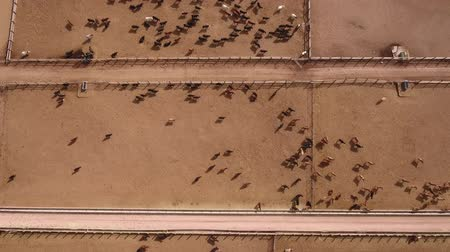 jíst : Aerial dolly shot of cows walking in a stockyard
