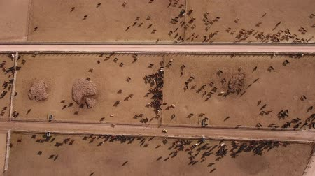 bloodstock : Aerial dolly shot of cows walking in  stockyard Stock Footage