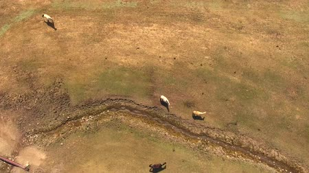 égua : Aerial shot of herd of horses in a rural farm fields Vídeos