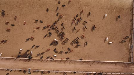 jíst : Aerial travelling shot of cows walking in a stockyard Dostupné videozáznamy