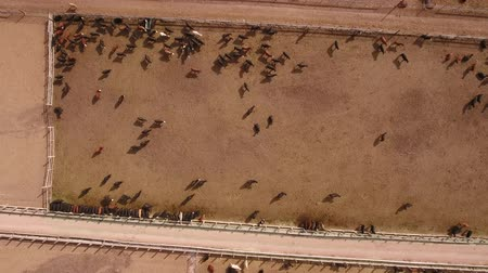 stable fly : Aerial travelling shot of cows walking in stockyard