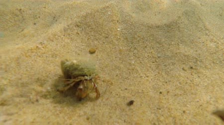 омар : An underwater shot of an ocean sand crab walking in sand on beach