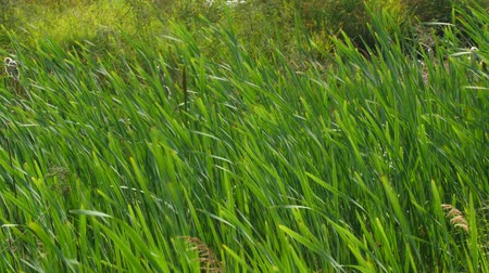 kamış : Beautiful green reeds blows in strong wind Stok Video
