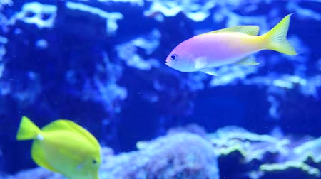 yüzgeç : Beautiful purple and yellow tropical fish swimming