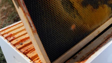grzebień : Beekeeper looks at the honey frames in his hive