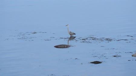 bezmotorové létání : Blue heron looking for fish in ocean