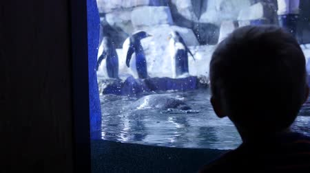 yüzgeç : Boy watches gentoo penguins inside the cold aquarium