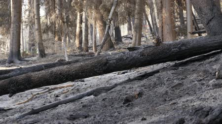 catástrofe : Burnt trees after a forest fire