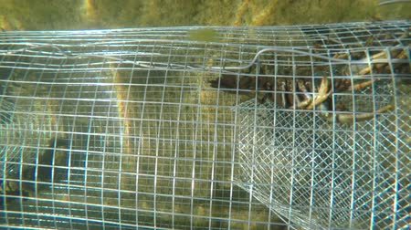 омар : Crawdad in an underwater metal trap in lake