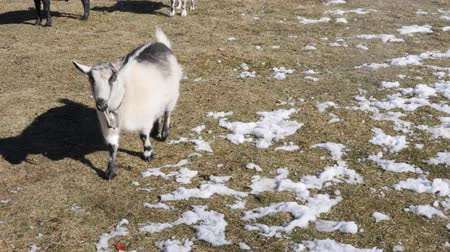 pastar : Cute of herd little pigmy goats on a country farm
