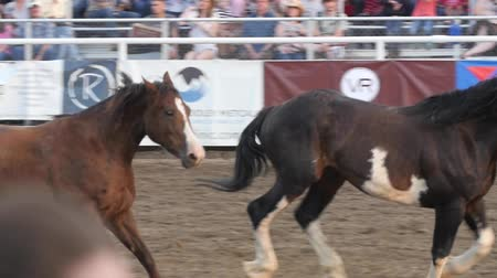 cauda : Editorial horses run around arena in PRCA rodeo event slow motion Stock Footage