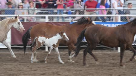 cauda : Editorial horses and colts in PRCA rodeo event slow motion