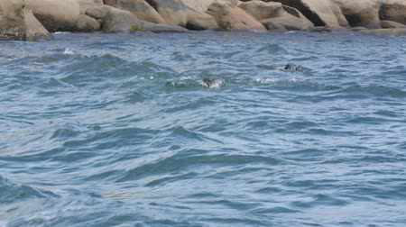 cape breton : Family of big seal swimming by the boat in the wild