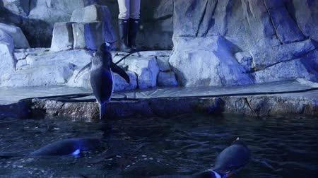ploutve : Gentoo penguins inside the cold aquarium Dostupné videozáznamy