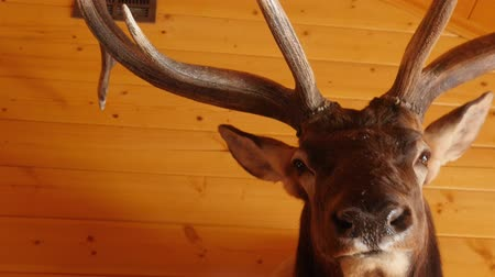 large ears : Large trophy elk mount hanging on the wall
