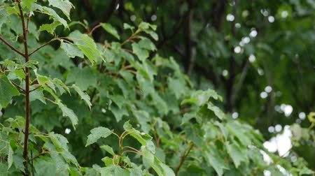 nedvesség : Rain falling on leafs of tree during storm rack focus