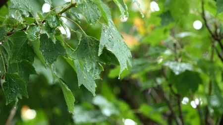 folha : Raindrops falling on leafs during a spring rainstorm