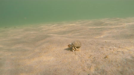 šnorchl : Sand crab moving along the sandy ocean floor beach