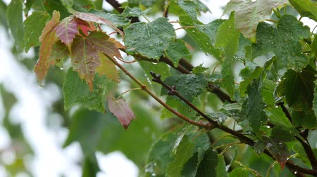 гром : Raindrops falling on maple leafs during a spring rainstorm