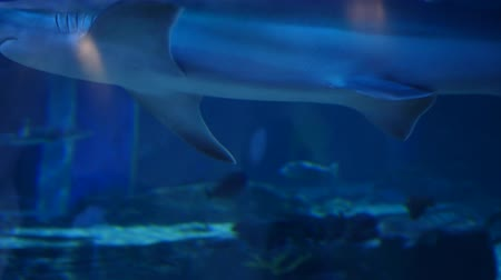 watching : Sharks swimming in a large aquarium Stock Footage