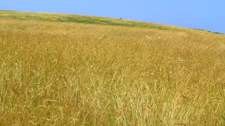 kamış : Slow Motion beautiful golden grass blows in strong wind