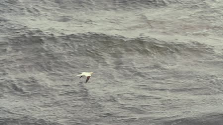 cape breton : Slow motion of one sea bird flying over rough ocean coast