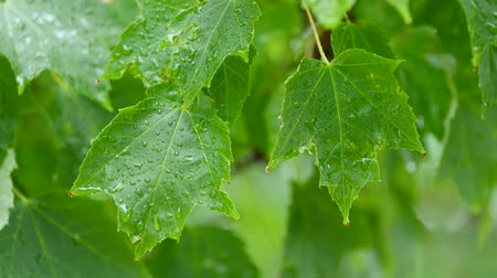 nedvesség : Water droplets on colorful leafs of a tree during storm