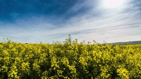 alergia : Rapeseed  Canola crop plantation fields panning