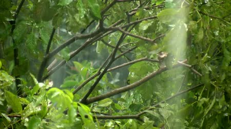 deszcz : Rain Storm Tree Tops With Audio (HD). Tree branches close up in heavy rain storm with ambient audio.  Wideo