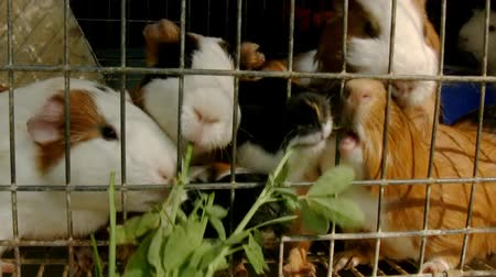 świnka morska : Guinea Pigs Feeding Inside Cage (HD). Five Guinea Pigs being fed with herbs in a cage. Video slightly stabilized for more usability.