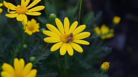 polinização : Bees On Yellow Daisies Slow Motion.  Bees getting nectar from yellow daisy flowers.