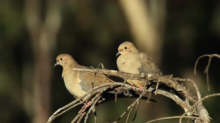 çiftleşme : Mourning Dove Couple (HD). Mourning doves close together on a dry branch at early morning hours watching the sun rise.