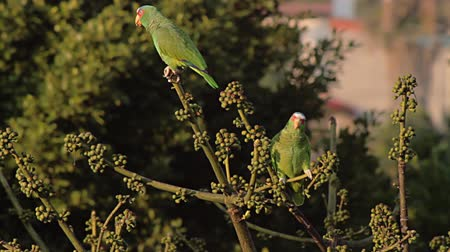 papuga : White Fronted Parrots Fly Off (HD). Wild White Fronted Parrot couple, male at left, female right. Perched on a fruit tree eating the small fruits then fly off. Ambient audio included. Wideo