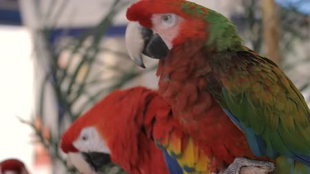 papuga : Green And Red Macaw (HD). Green and Red hybrid Macaw parrot ruffling feathers. Wideo
