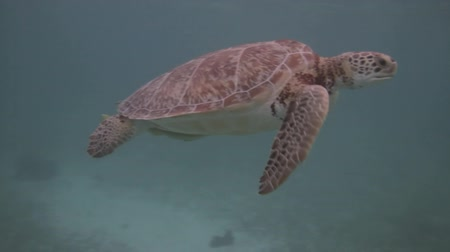 espécies : Green Sea Turtle Endangered (HD). This is a green turtle endangered species found feeding in the Mexican Caribbean.  Vídeos