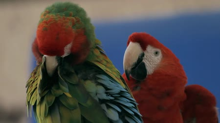 çiftleşme : Macaws Grooming And Playing (HD). A Scarlet & hybrid macaw species groom and play. Stok Video