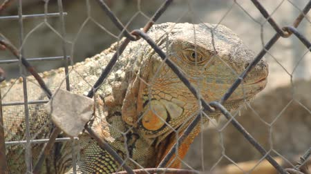 réptil : Caged Iguana. Caged iguana in central Mexico. These are captured for pets and food.