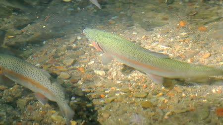 plavání : Rainbow Trouts Swimming. Rainbow trouts swimming against calm current. Middle aged fish.