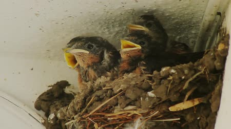 hnízdo : Swallow Chicks Feeding on Nest (HD)