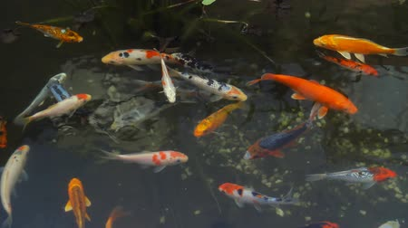 kapr : Koi Fish Pond Overhead View (HD). Several beautiful Koi fish seen from above in a calm pond. Shot with circular polarizer to see below the water.