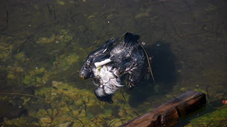 hnijící : Dead Seagull Floating in Polluted Water (HD). Dead Seagull Floating in Polluted Water, found floating at a polluted boat pier. You can see PVC pipe piece attached on the back.