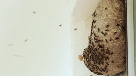 hive : Wasp Hive Slow Motion (HD 24p). Wasp nest shot at 60 fps and slowed down to 24p. Several dozen wasps fill the nest to defend from an attack. White space from a wall left so you can add text or another.